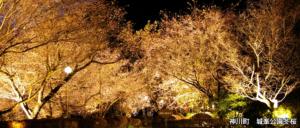 神川町 城峯公園冬桜
